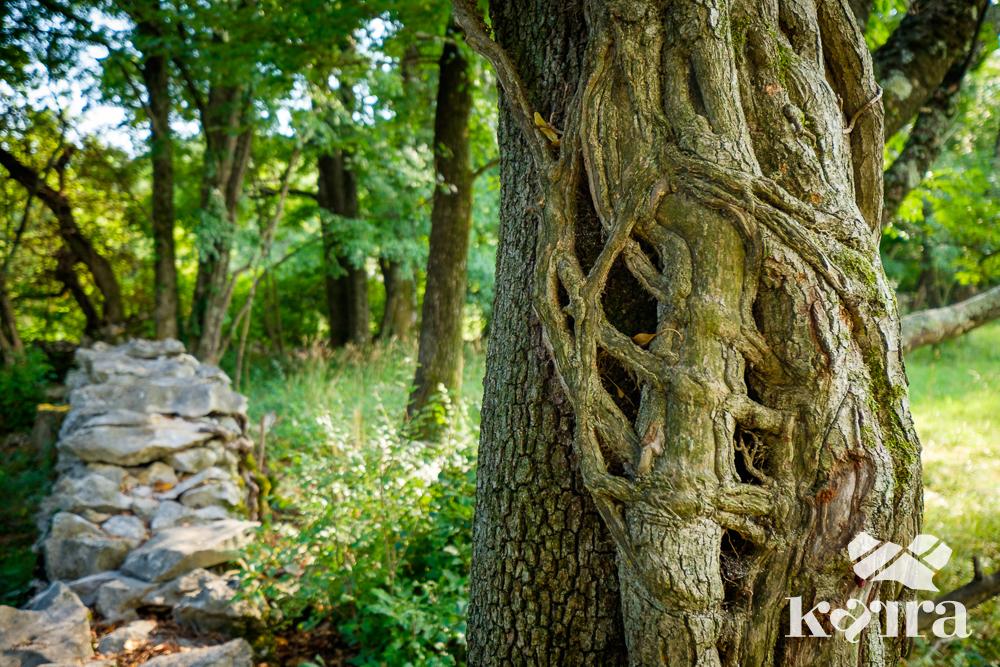 Knorriger Baum mit Karstmauer