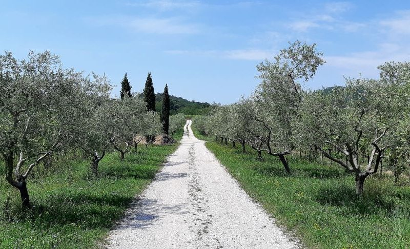 Olivenbäume Collio Friaul